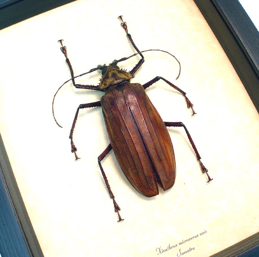 Xixuthrus microcerus axis 99mm Giant Longhorn Beetle ooak