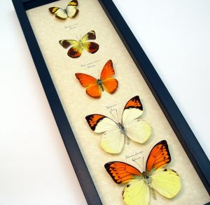 Yellow Orange Butterfly Collection Real Framed Butterflies
