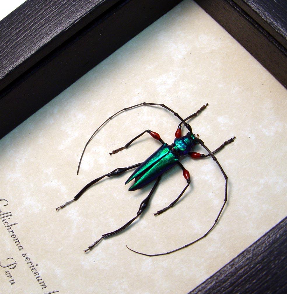 Callichroma sericeum Female Metallic Green Longhorn Beetle