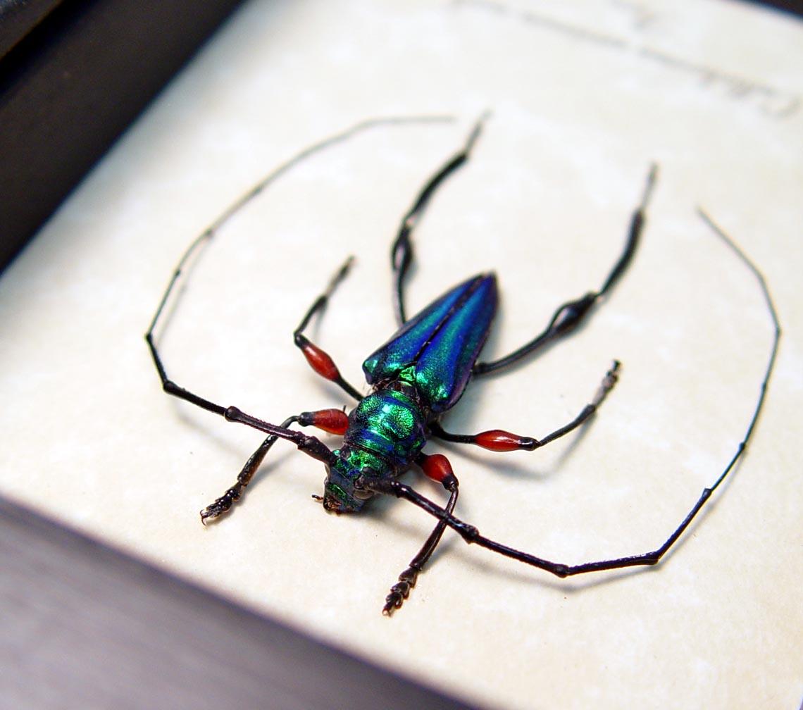 Callichroma sericeum Male Metallic Green Longhorn Beetle