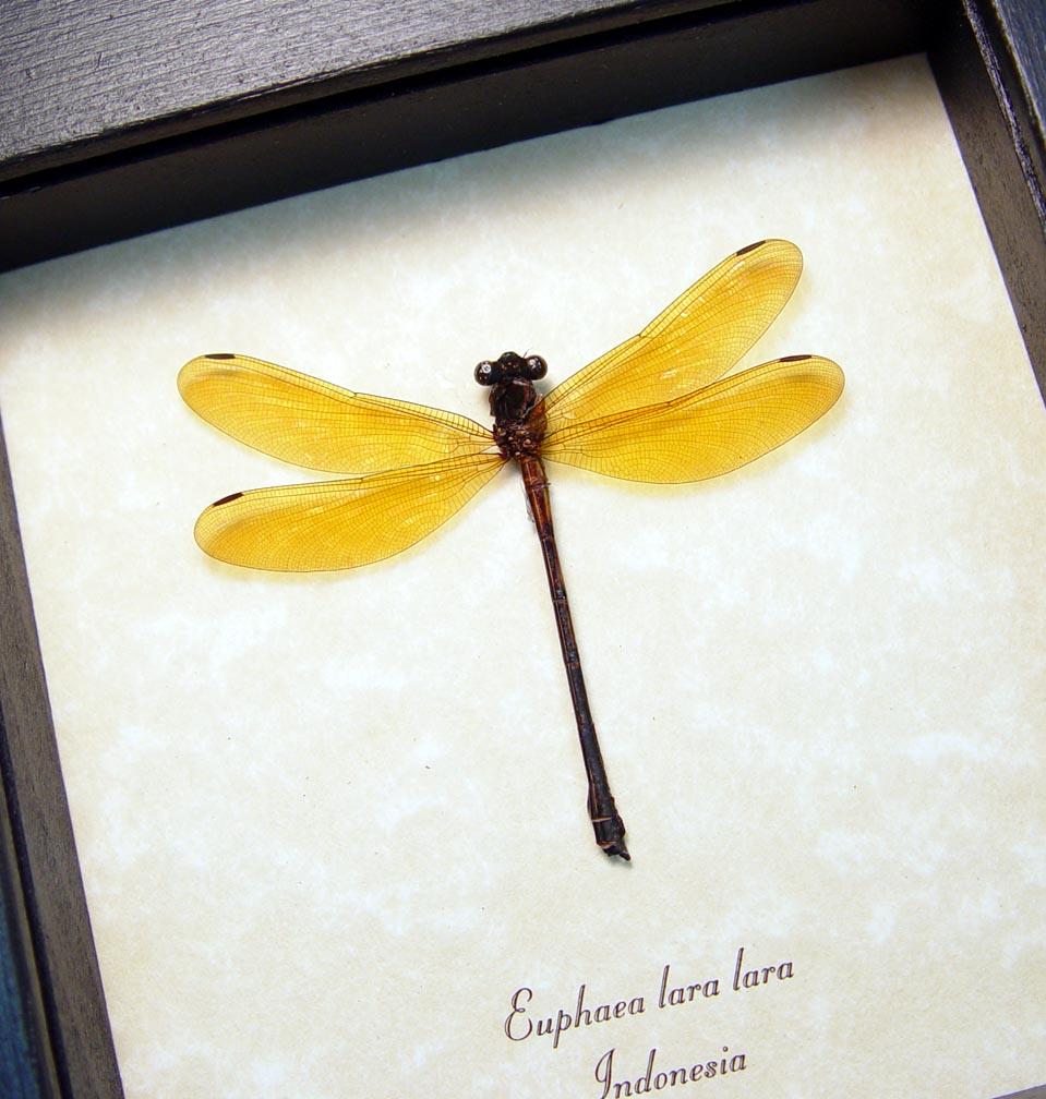 Euphaea lara lara Golden Damselfly