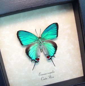 Evenus Regalis Regal Hairstreak Framed Costa Rica Butterfly ooak