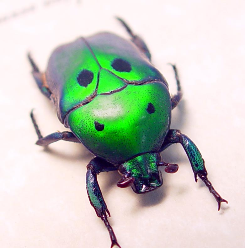 Heterorrhina sexmaculata Green Domino flower Beetle ooak