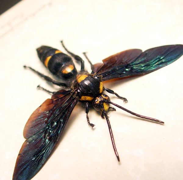 Megascolia procer javenensis male Large Wasp ooak