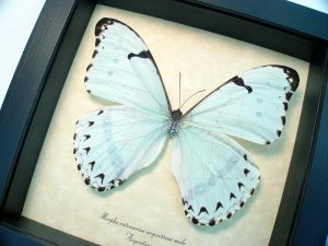 Morpho catenarius Mint Morpho Framed Blue Butterfly ooak