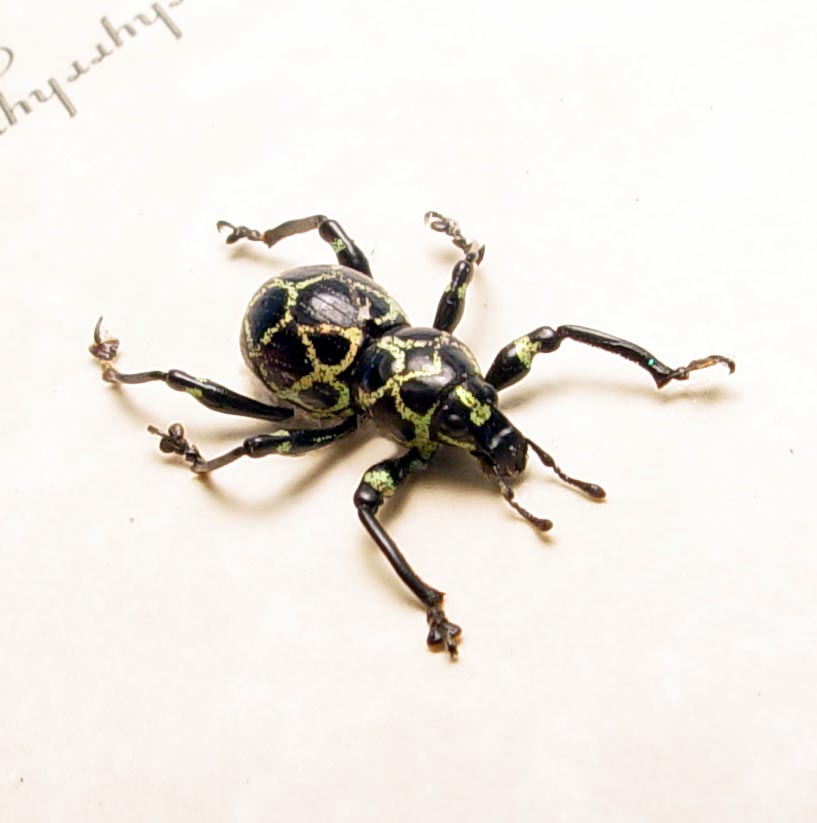 Pachyrhynchus reticulatus Green Honeycomb Grid Weevil Beetle