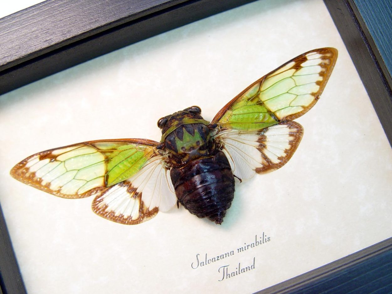 Salvazana mirabilis Alien Head Cicada Framed Insect Display
