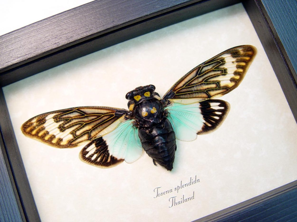 Tosena splendida Blue Cicada Framed Insect Display