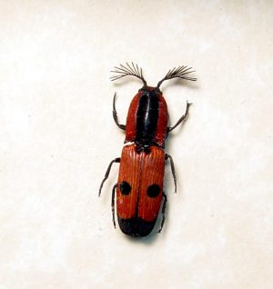 Abiphis insilis Red Madagascar Click Beetle