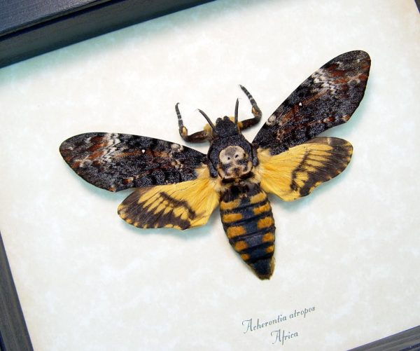 Death's Head Moth Acherontia atropos Female ooak