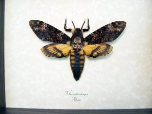 Acherontia atropos male Death's Head Moth ooak