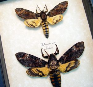 Death Head Moth Set Acherontia atropos styx ooak