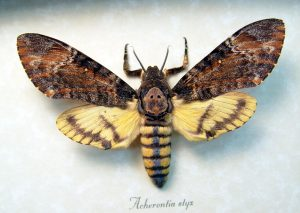 Acherontia styx Female Death Head Moth ooak
