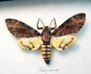 Acherontia styx Male Death Head Moth ooak