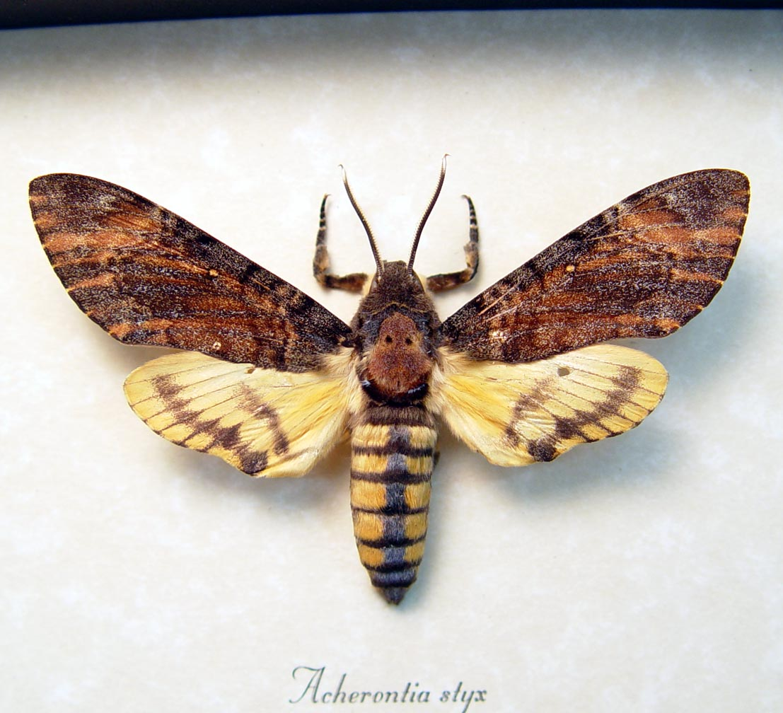 Acherontia styx Male Death Head Moth display ooak