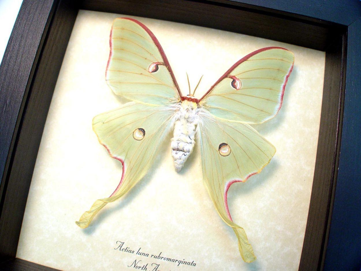 Actias luna rubromarginata Female Luna Moth ooak