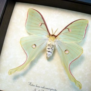Actias luna rubromarginata Female Luna Moth display ooak