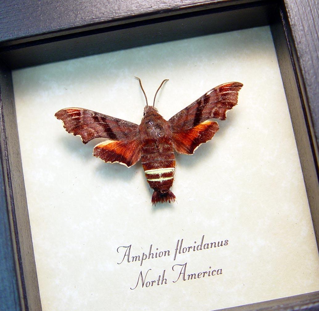 Amphion floridanus Nessus sphinx moth ooak