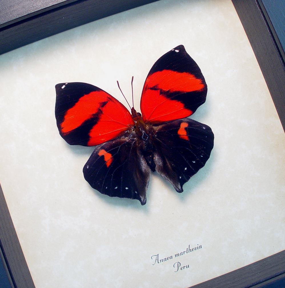 Anaea marthesia Red Heart Butterfly ooak