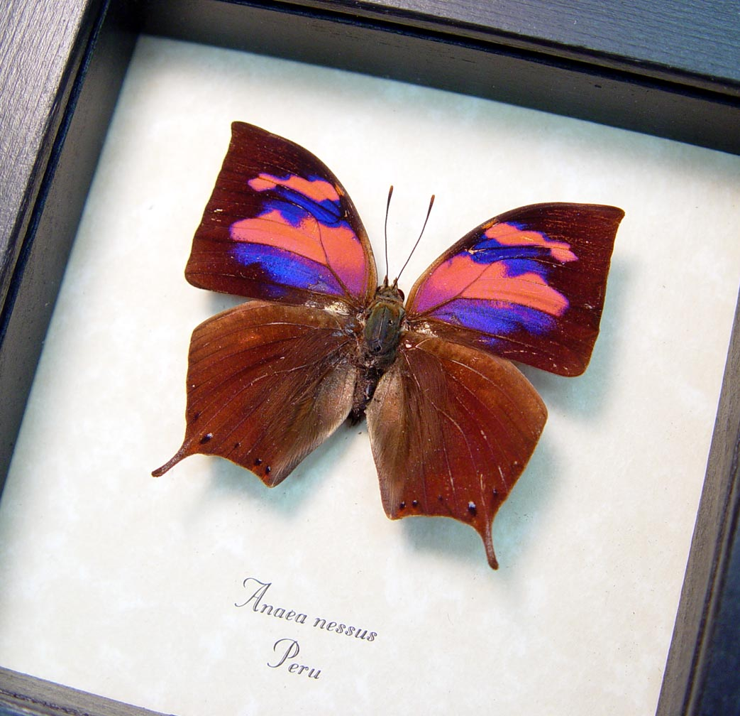 Real Pink Framed Butterfly Anaea nessus