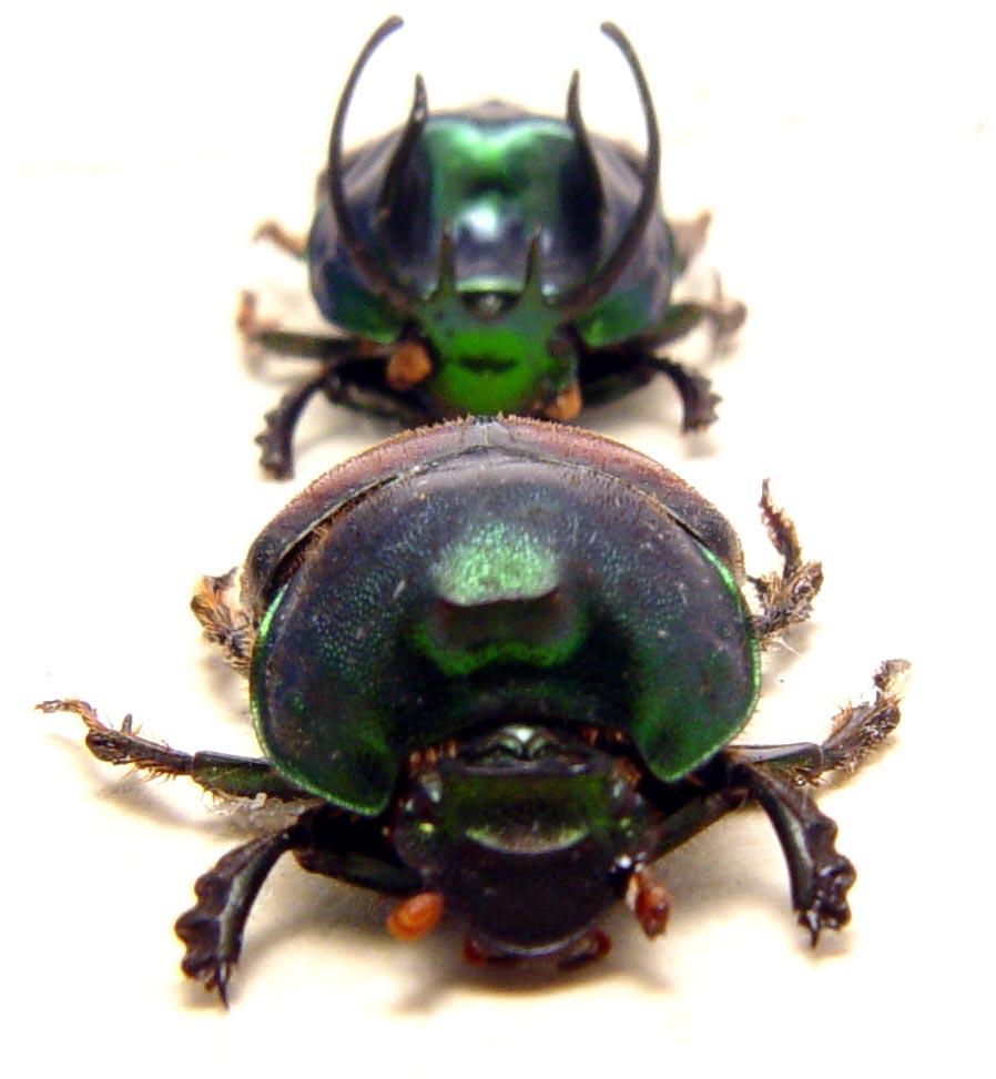 Proagoderus sexcornutus Pair Antler Beetle Devil Horned Scarab Beetles ooak