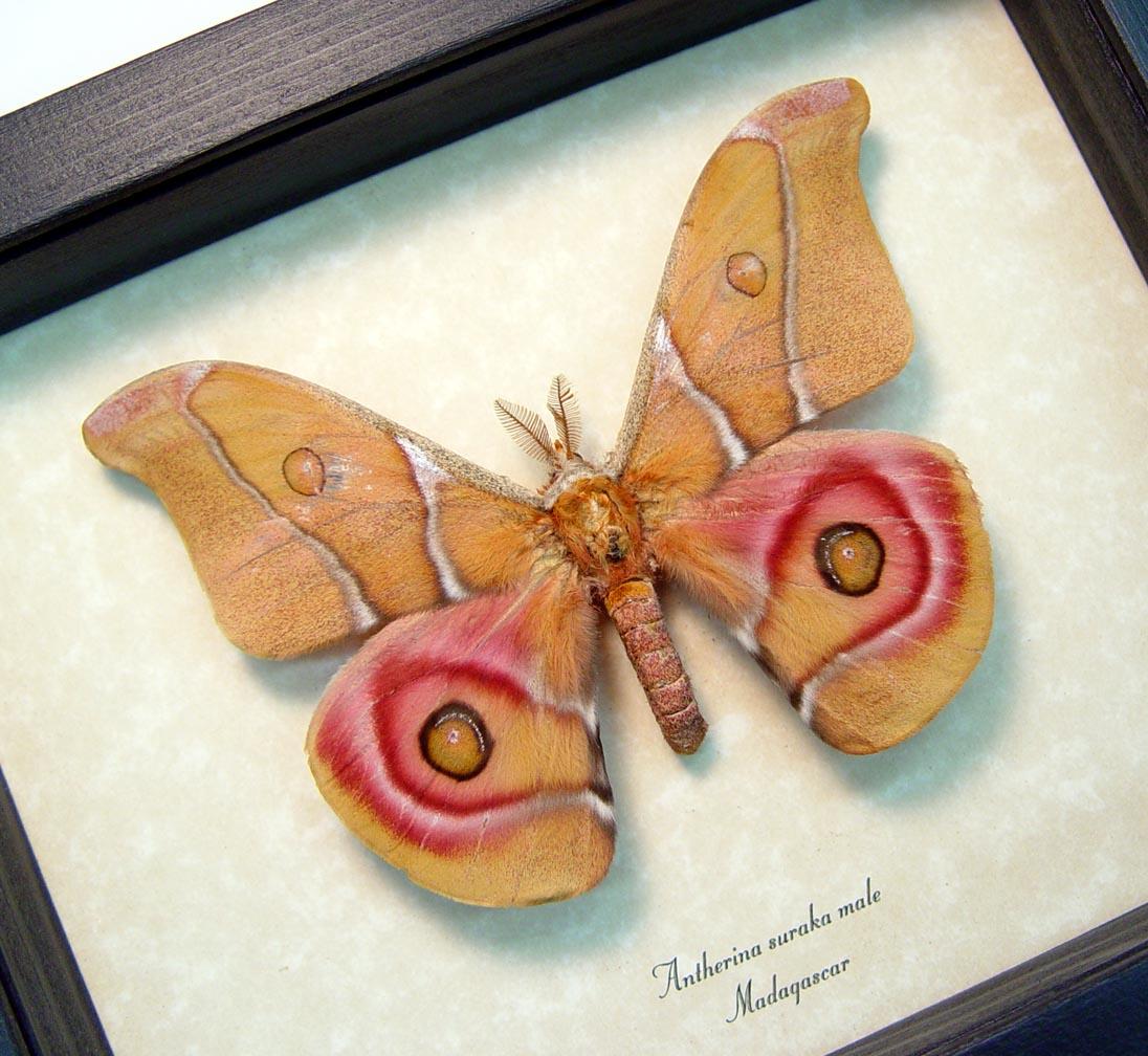 Antherina suraka Male Madagascar Emperor Moth ooak
