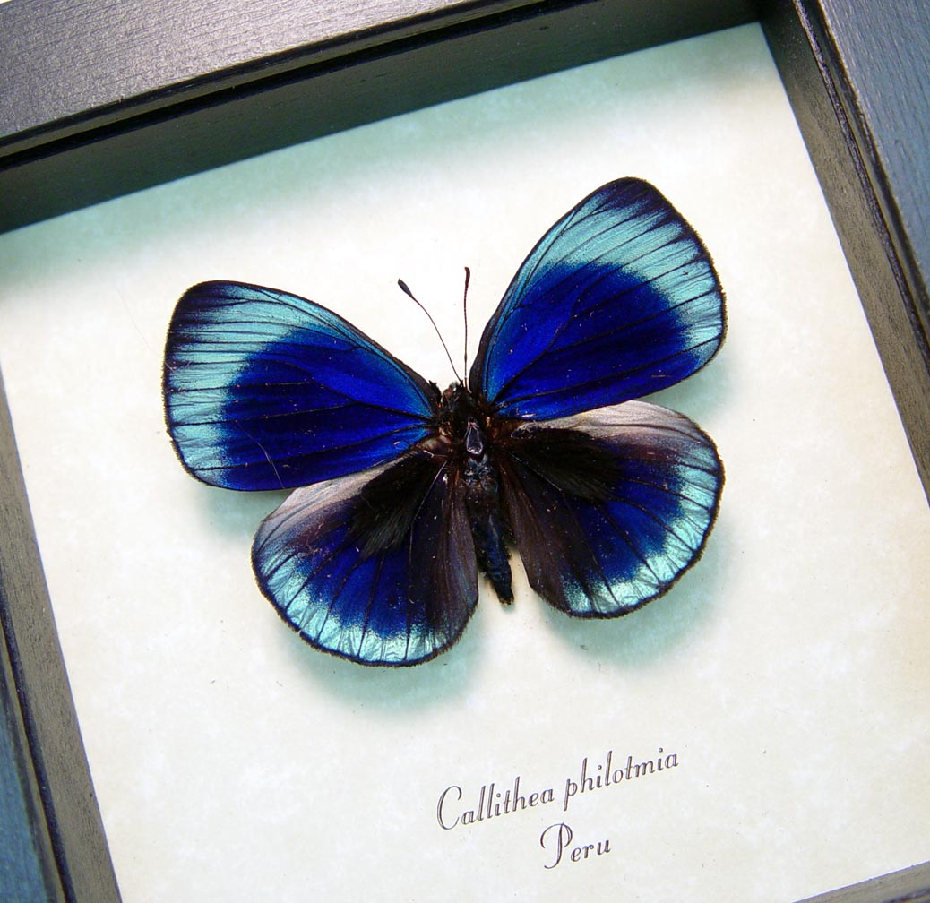 Charles Darwin Butterfly Metallic Blue Butterfly