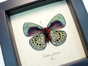 Charles Darwin Butterfly Callithea philotmia Verso ooak