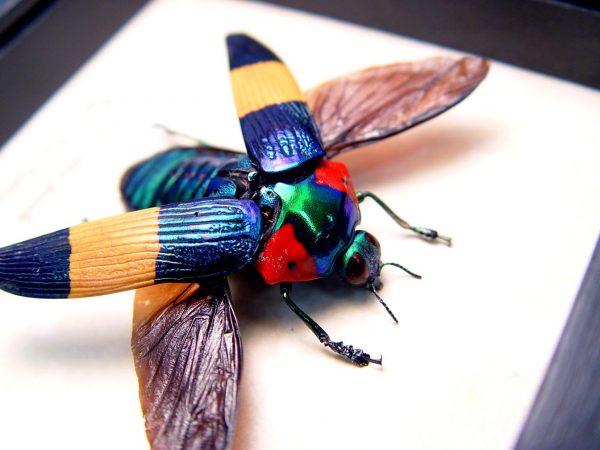 Calodema ribbei Female Ultra Rare Flying Jewel Beetle ooak