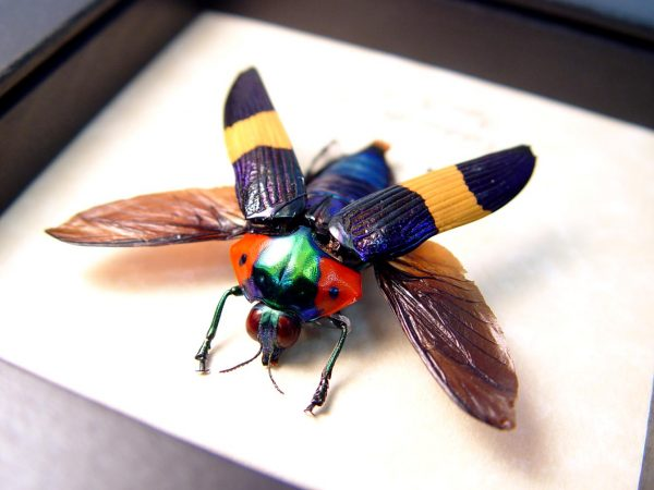 Calodema ribbei male Ultra Rare Flying Jewel Beetle ooak
