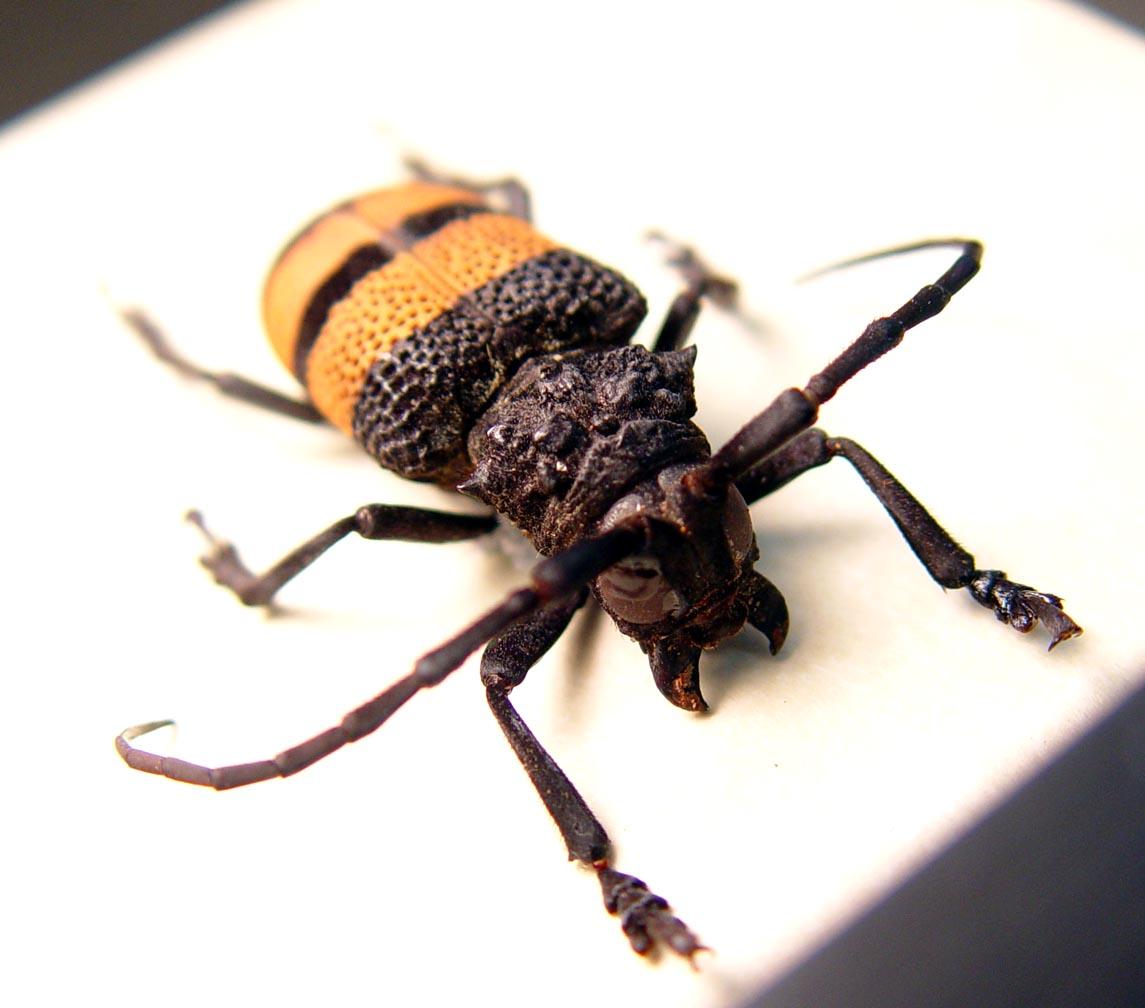 Ceroplesis Banded Longhorn Beetle Framed Insect