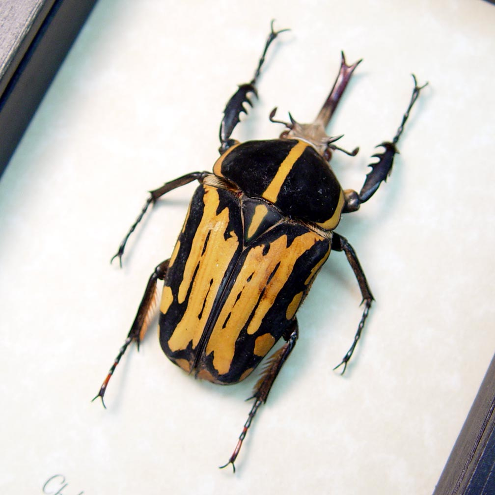 Chelorrhina krantzi Male 59mm African Flower Beetle ooak