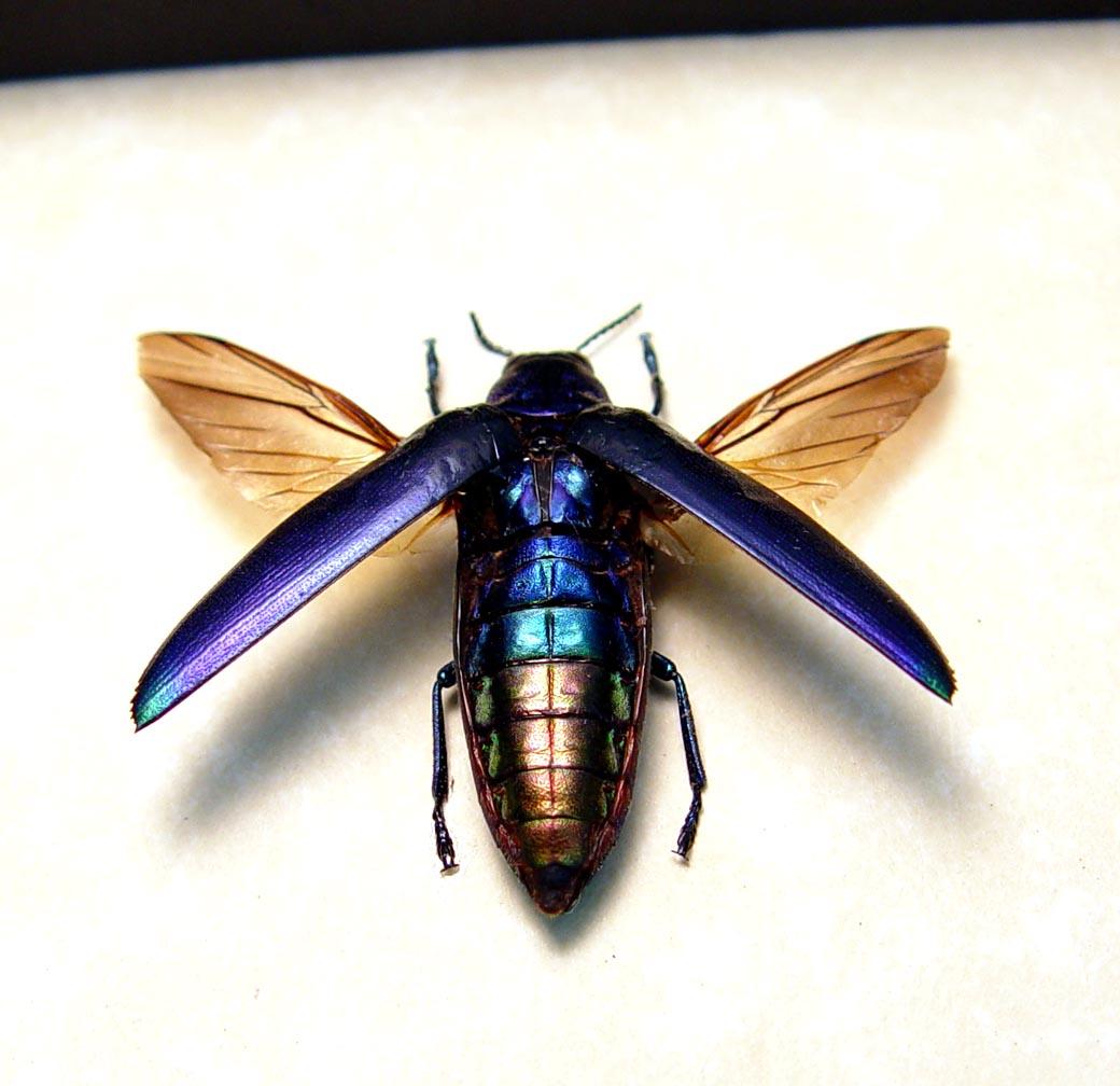 Chrysochroa fulminans Violet Rainbow Beetle
