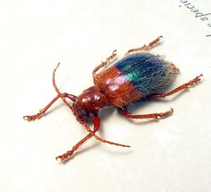 Chrysomelidae Hairy Leaf Beetle Red Blue Beetles