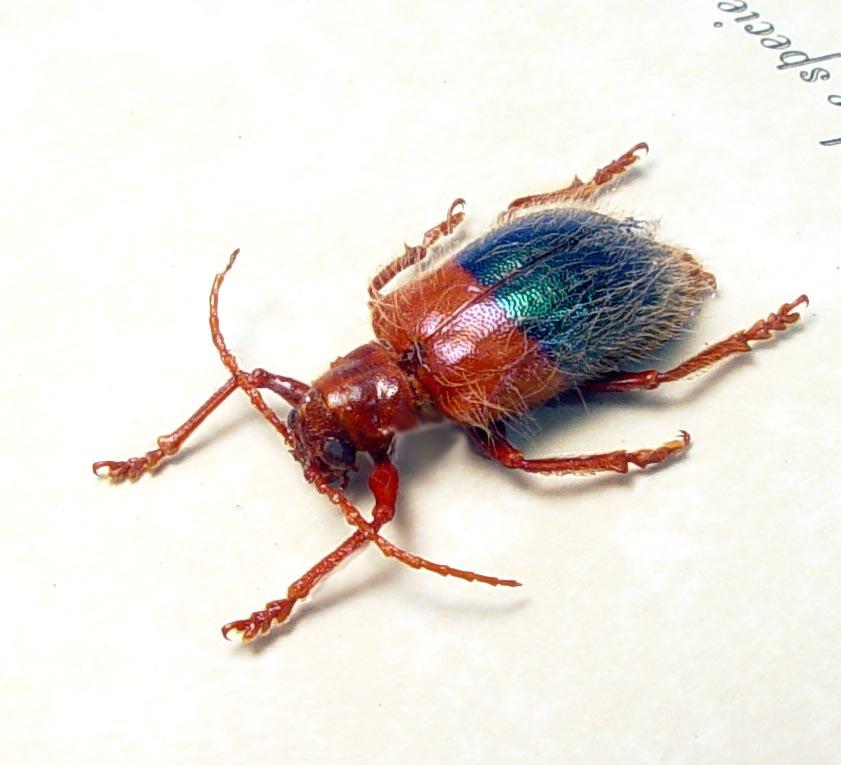 Chrysomelidae Hairy Leaf Beetle Red Blue Beetles