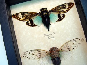 Cicada Collection Ghost Cicadas