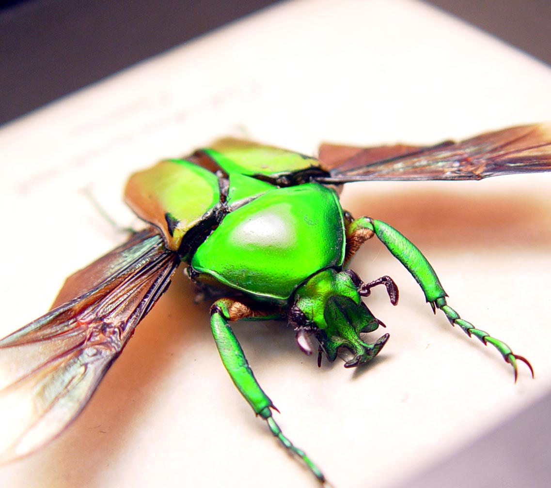 Coelorrhina aurata Gold Flying Cameroon Beetle ooak