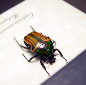 Coptomia mauritania male Orange Swirls Madagascar Beetle ooak