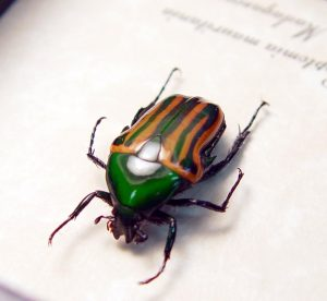 Coptomia mauritania male Green Swirls Madagascar Beetle ooak