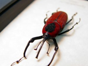 Cyrtotrachelus bipartitus Red Bamboo Weevil Beetle ooak