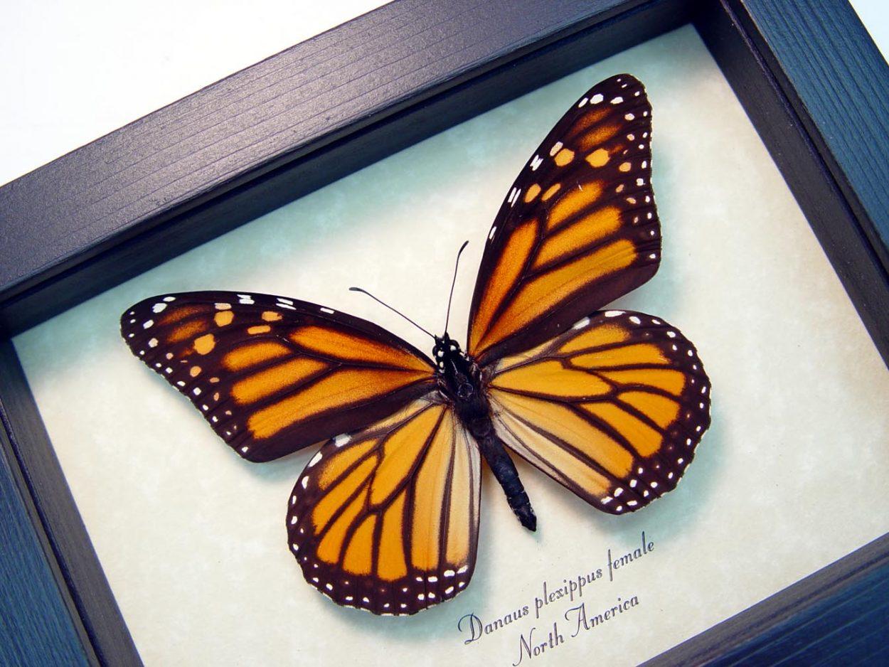 Danaus plexippus Female Framed Monarch Butterfly