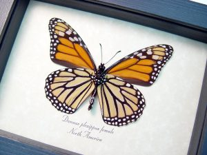 Danaus plexippus Female Verso Framed Monarch Butterfly