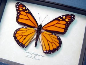 Danaus plexippus Framed Monarch Butterfly