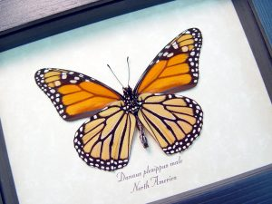 Danaus plexippus Verso Framed Monarch Butterfly