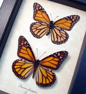 Danaus plexippus Set Framed Monarch Butterfly ooak