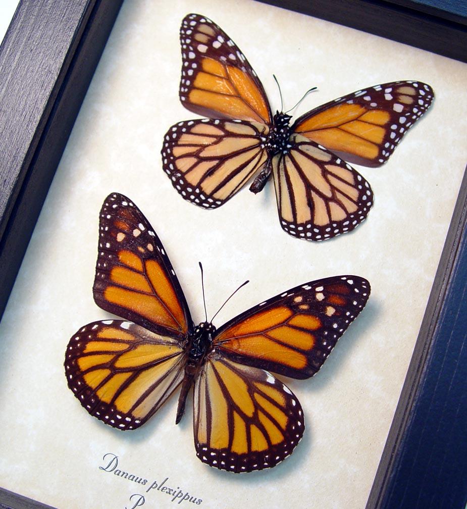 Danaus plexippus small Set Framed Monarch Butterfly ooak