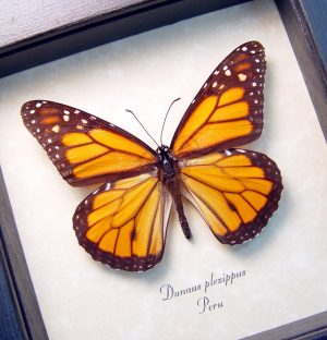 Danaus plexippus Framed Monarch Butterfly ooak