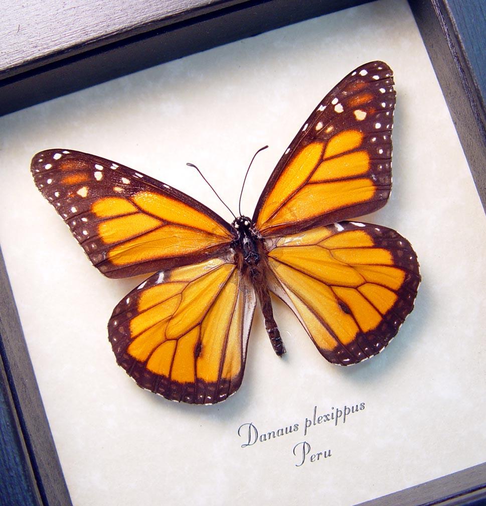 Danaus plexippus Framed Monarch Butterfly
