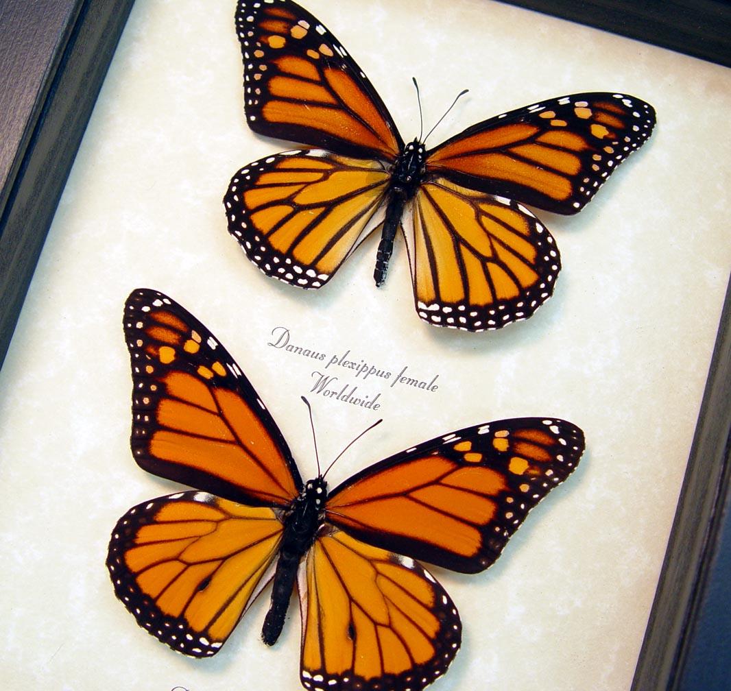 Danaus Plexippus Pair Framed Monarch Butterflies