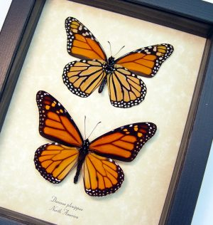 Danaus Plexippus Set Framed Monarch Butterflies ooak
